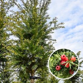 Taxus baccata hoogstam