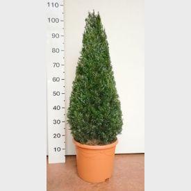 Taxus baccata Piramide 60-80 cm