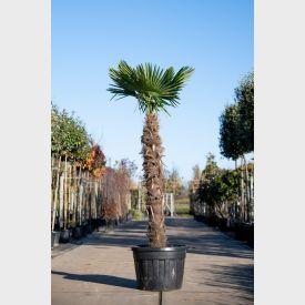 Chinese Waaierpalm 160cm