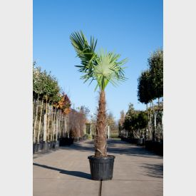 Chinese Waaierpalm 'Fortunei' 30 liter 100-125