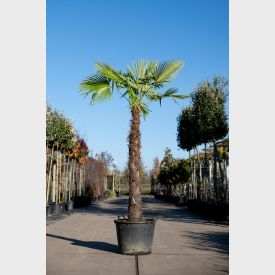 Chinese Waaierpalm 'Fortunei' 45 liter 40-50