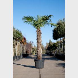Chinese Waaierpalm 140cm