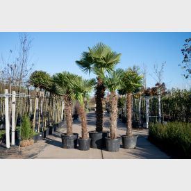 Chinese Waaierpalm 'Fortunei' 25 liter 80-100