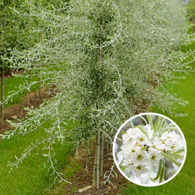 Pyrus salicifolia Pendula laagstam