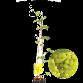 Witte Druif Bianca Plant