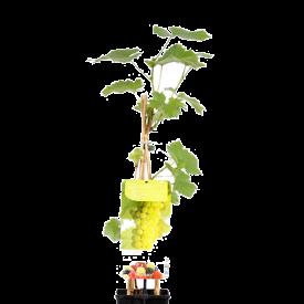 Witte druif Solaris