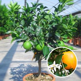 Zoete Sinaasappelboom 12 liter 60-80